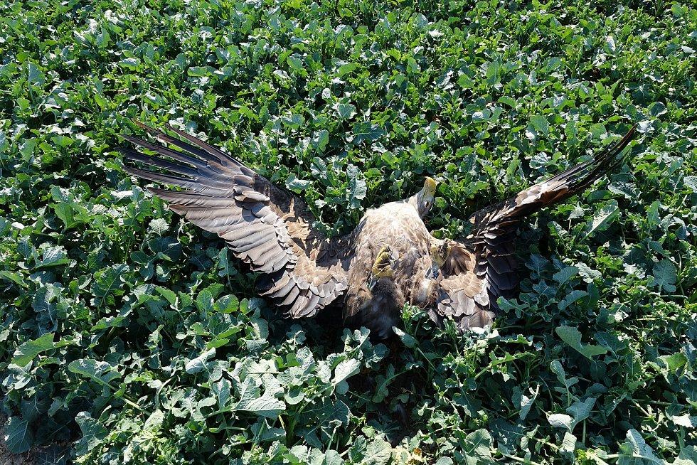 V Roudnici byl nalezen mrtvý orel. Někdo ho otrávil karbofuranem.