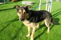 Kříženec německého ovčáka: jméno: Brit, pohlaví: pes, věk: 2 roky, barva: černohnědá, velikost v kohoutku: 60 cm. Klidný, k cizím lidem mírně nedůvěřivý. Na vodítku je dobře ovladatelný, je pozorný, hlídá. Vhodný do klidného prostředí domku se zahradou.
