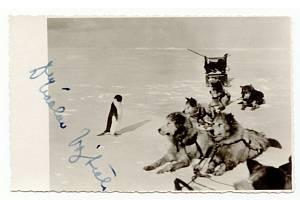 Unikátní snímek Václava Vojtěch s tučňákem a psi. Dnes jsou psi na Antarktidě zakázáni.