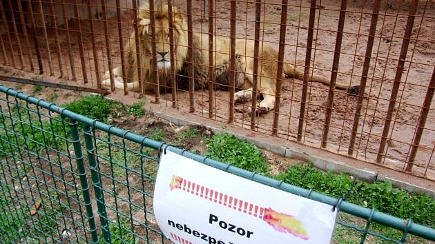 Lev ze soukromé zoologické zahrady.