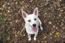 Kříženec špice, jméno: Rexik, pohlaví: pes, věk: 10 měsíců, barva: bílá, velikost v kohoutku: 35 cm. Desetiměsíční štěně milé a veselé povahy. Rád si ukrývá zásoby jídla, je vhodný k domku se zahradou, v zimním období potřebuje vytápěný prostor.