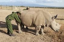 Čtyři severní nosorožci bílí se v roce 2009 vrátili do rodné Afriky, kde mají zplodit mládě. Na světě jich žije už jen několik.