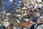 Hejno ryb uhynulo v Labi pod jezem.