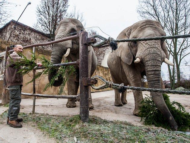 Krmení slonů vánočními stromky.