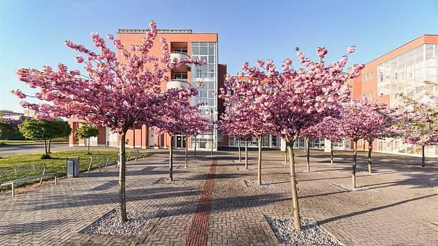 Rozkvetlé sakury u hradecké univerzity