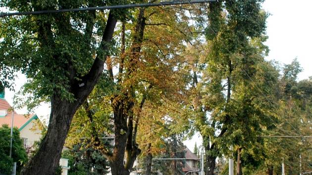 Tradiční lípy čeká v dohledné době radikální řez. Nové druhy stromů jich nahradí několik desítek.