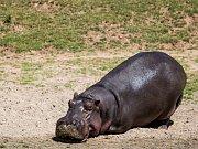V jezírku u výběhů v Safariparku Dvůr Králové na Labem lze vidět tři hrochy. Jedná se o dvě samice a 33letého samce jménem Mike, který do české zoo přicestoval loni v říjnu z německého Stuttgartu.