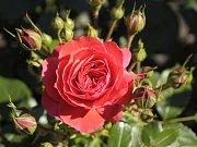 Soutěž o titul Zlatá růže. Vítězná Cherry Girl z Německa.
