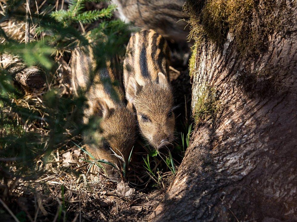 V oboře v hradeckých lesích se divočákům Pepině a Bobovi narodilo deset selátek.