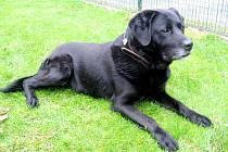 Kříženec Labradora: jméno: Luky, pohlaví: pes, věk: 8 let, barva: černá, velikost v kohoutku: 55 cm. Luky je mohutný, bezproblémový pes, veselé a přátelské povahy. Ideální k hodným lidem do domku se zahradou.