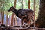 Městské lesy se radují z nových přírustků muflonů.