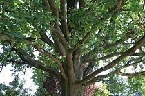 DUB OD JEŘÁBKŮ, Rohovládová Bělá na Pardubicku. Dub je 200 let starý a kmen dosahuje v obvodu úctyhodných 310 cm. Pokud chcete dát hlas tomuto stromu, hlasujte pro něj formou SMS ve tvaru DMS STROM8.