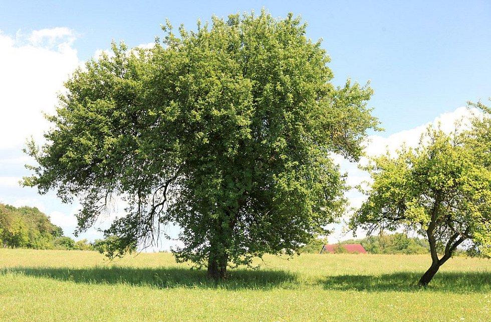 BĚSTVINSKÁ JABLOŇ, Běstvina u Dobrušky. Jabloň je 150 let stará, 12 metrů vysoká a obvod kmene dosahuje 277 centimetrů. Líbí–li se vám tento strom, hlasujte pro něj SMS ve tvaru DMS STROM2.