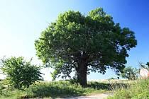 JASAN U STARÉHO BYDŽOVA, Starý Bydžov na Královéhradecku. Jasan je 250 let starý, 20 metrů vysoký a v obvodu má 660 centimetrů. Pokud vás zaujal tento strom, hlasujte pro něj SMS ve tvaru DMS STROM1.