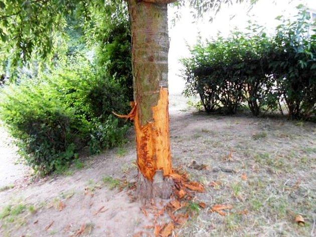 Poškozená okrasná smuteční třešeň na hradeckém Moravském Předměstí.