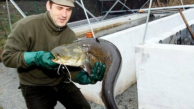 Výlov vánočních ryb v Holohlavech.