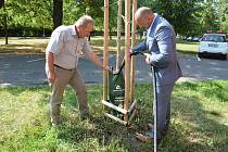 Hradecké stromy budou pít ze zavlažovacích vaků.