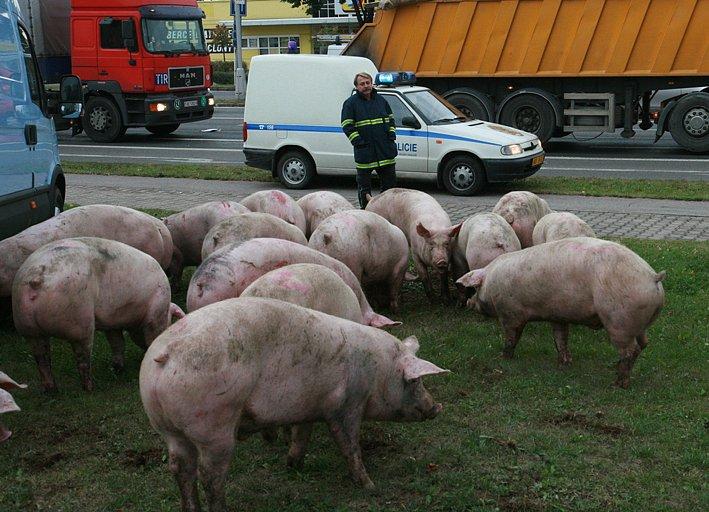 Kuriozní obrázek se naskytl řidičům, kteří v úterý ráno projížděli v blízkosti královéhradecké Pilnáčkovy ulice. Na trávníku se páslo zhruba 20 prasat. Zvířata původně převážel kamion. Řidič prudce zabrzdil a prasata mu vyrazila zadní dveře.