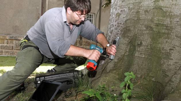 Zkoušku v tahu absolvoval památný strom v centru Hradce Králové. Luděk Praus z Mendelovy zemědělské a lesnické university v Brně.