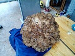 Trsnatec lupenitý - chorošovitá houba (Grifola Frondosa).