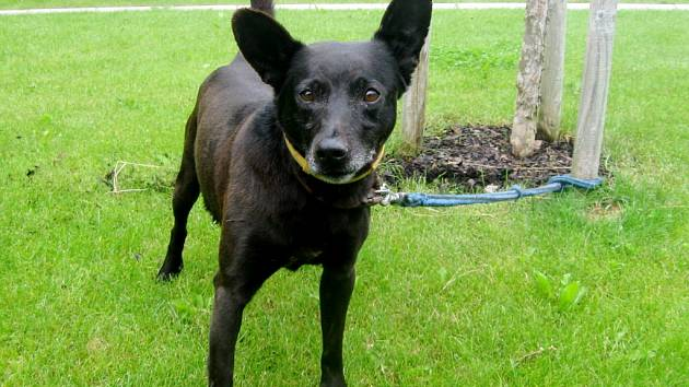 Kříženec (kohoutková výška 35cm, hmotnost 10 kg), jméno: Korinek, pohlaví: pes, věk: 5 let, barva: černá.Pevného zdraví, přátelský, milující procházky (venkovský typ), vhodný pro staršího člověka, kterému bude vděčným a věrným společníkem.