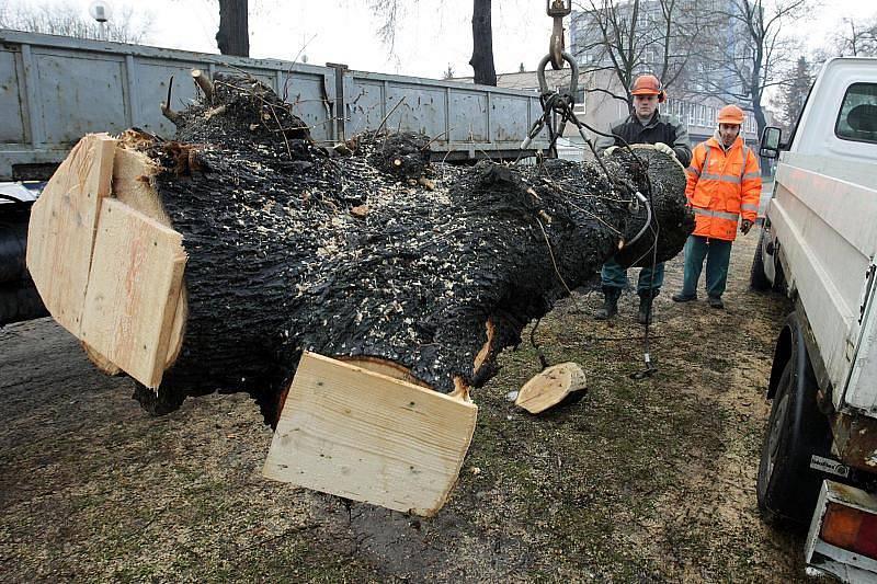 Kmen s larvami vzácného páchníka hnědého technické služby převezly do přírodního parku Orlice v Malšovicích. Tam by larvy měly mít dobré podmínky k vývoji (leden 2011).