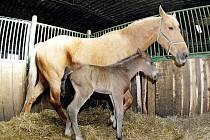 """V Měníku nedaleko Nechanic se za dva dny narodili hřebeček a malá klisna. Na snímku jedno z hříbat společně s """"maminkou"""" Franceskou."""
