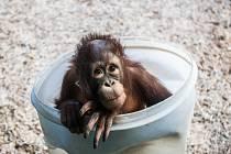 Mládě orangutana v královédvorské zoologické zahradě.