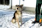 Kříženec: jméno: Snowy, pohlaví: pes, věk: 2 roky, barva: šedohnědá, velikost v kohoutku:  45 cm. Zpočátku nejistý, přitom ukázněný, radostný, přátelský kříženec, vhodný jako společník do klidného domácího prostředí, nejlépe k domku se zahradou.