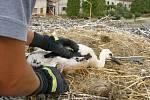 Hasiči zachraňovali čapí mláďata v Lužci nad Cidlinou (13. července 2010).