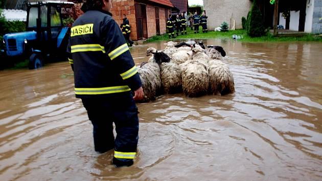Záchrana ovcí a jehňat v Pamětníku u Chlumce nad Cidlinou.