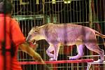 Pod šapitó cirkusu Humberto je k vidění kromě jiného spousta zvířat. Cirkus má jednu z největších lvích drezur na světě, v programu vystupují také koně, velbloudi, zebry, pudlové a další zvířata.