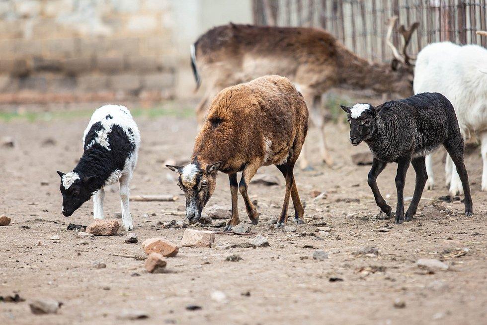 Sucho ohrožuje farmáře, kteří nebudou mít dostatek potravy pro zvířata.