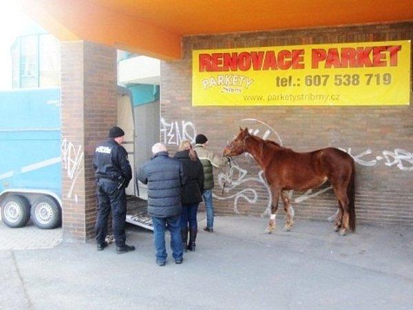 Odchyt koně do přepravního boxu.
