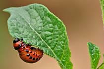 Žravá larva mandelinky bramborové