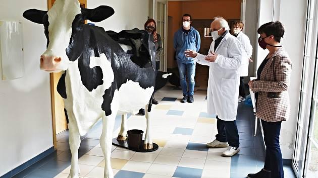 Studenti veteriny se učí na milionovém modelu krávy v životní velikosti.