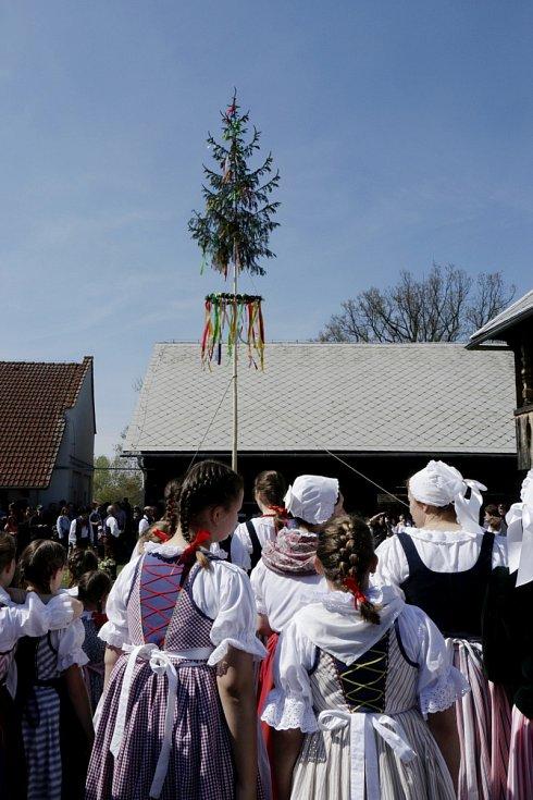 Stavění máje všem pannám hradeckým na Šrámkově statku v královéhradeckých Pileticích.