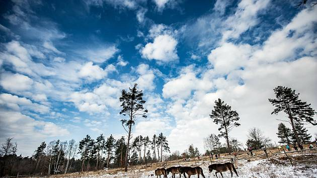 V lokalitě Plachta na okraji Hradce Králové vypustili 20. ledna čtyři divoké exmoorské koně, kteří pastvou pomohou udržovat životní prostředí pro vzácné rostlinné i živočišné druhy. Mladí koně do dvou lokalit v Královéhradeckém kraji, druhou je Ptačí park