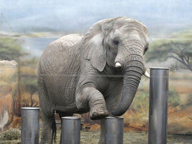 Volby slonic v královédvorské zoologické zahradě.