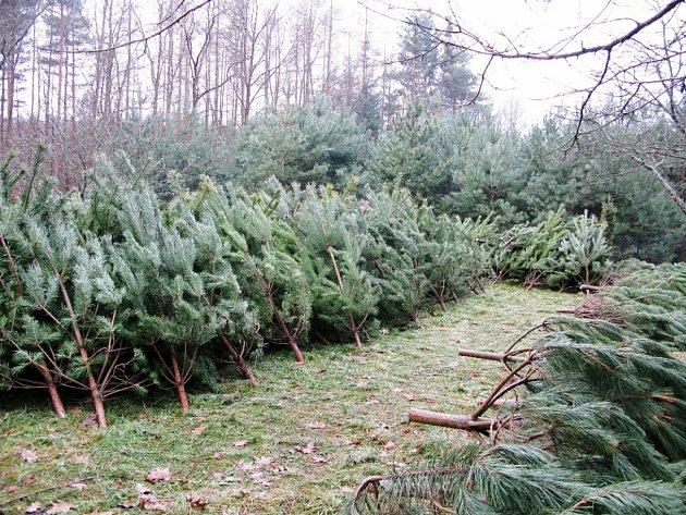 Stromy z hradeckých městských lesů určené k předvánočnímu prodeji.