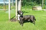 Kříženec: jméno: Šmudla, pohlaví: pes, věk: 1,5 roku, barva: černá s bílou náprsenkou, velikost v kohoutku: 35 cm. Temperamentní, mírně nedůvěřivý kříženec menšího vzrůstu. Je vhodný k domku se zahradou.