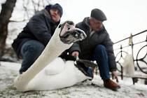 Čeští a polští ornitologové začátkem ledna kroužkovali labutě velké zimující na Labi v Hradci Králové.