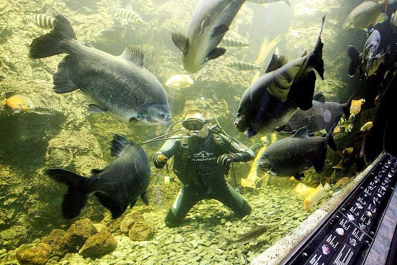 Mezi největší atrakce Obřího akvária patří čtvrteční krmení ryb.