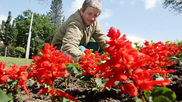 Údržba květinových záhonků v hradeckém parku.