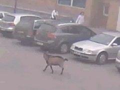 Centrem Smiřic se producírovala koza.