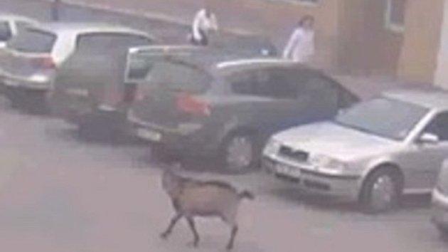 Koza na útěku ve Smiřicích