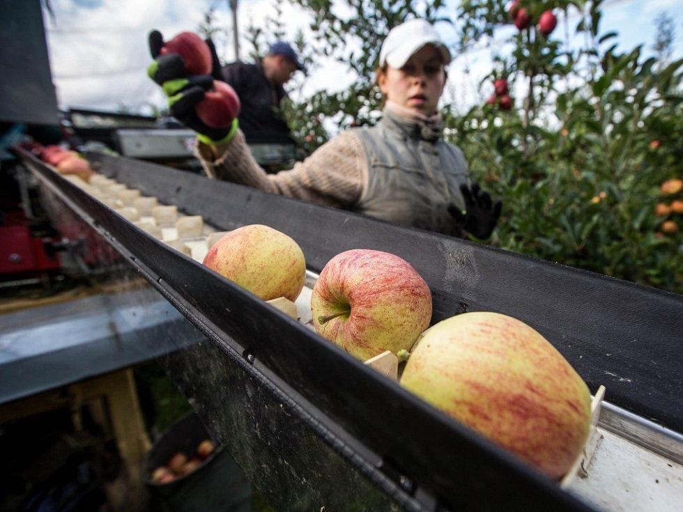 Sklizeň jablek.