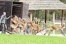 Vypouštění zvířat do safari v Zoologické zahradě Dvůr Králové nad Labem.