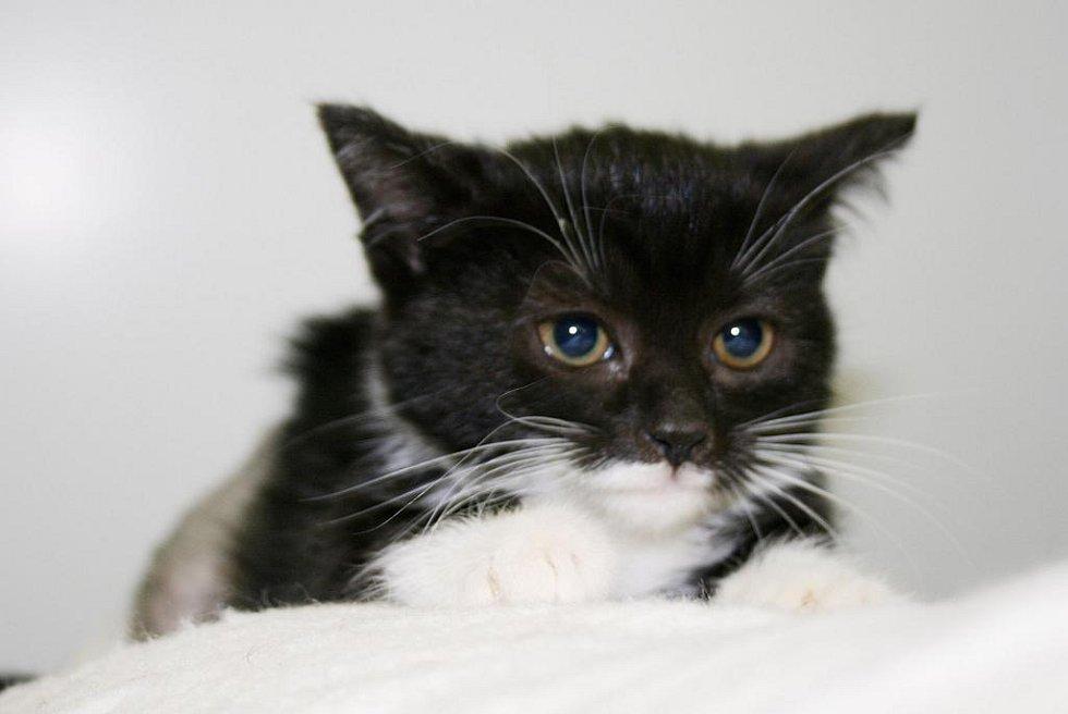 Kočka domácí: Bedřiška.