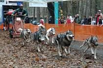 Závody psích spřežení v Bělči